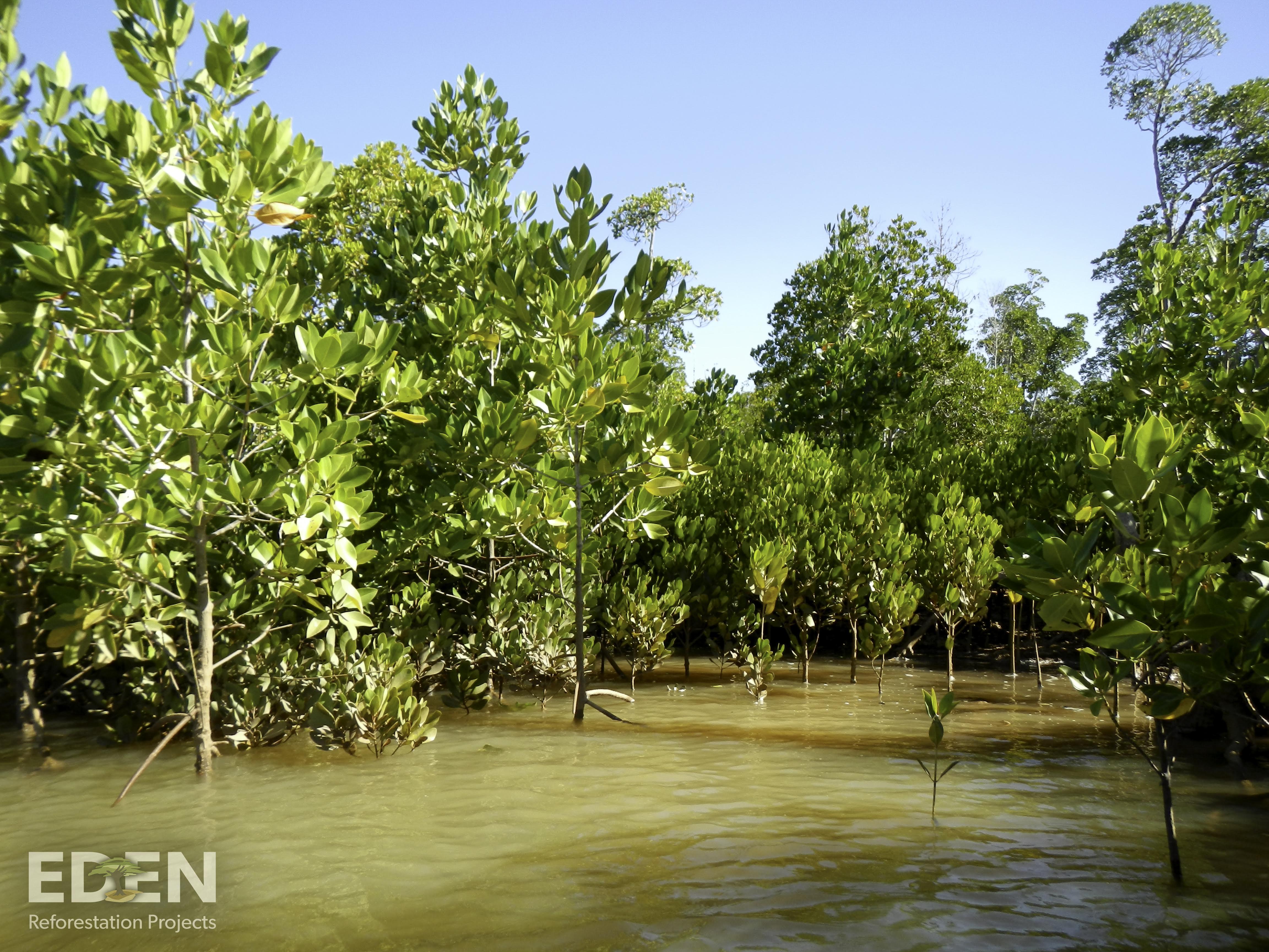 Mangroven Wälder werden im Zuge des Schrott24 Umweltprojekts aufgeforstet